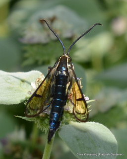 Synanthedon fatifera, Lesser Viburnum Clearwing Moth, on Pycnanthemum muticum, Clustered Mountain Mint, Flatbush, Brooklyn, July 2014