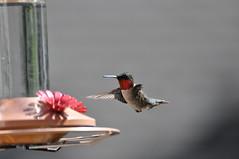 20140704 Hummingbird 011