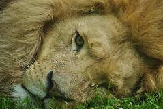 GaiaZOO - Leeuw