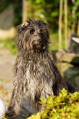 schnoodle(0.0), pumi(0.0), glen of imaal terrier(0.0), standard schnauzer(0.0), schnauzer(0.0), bouvier des flandres(0.0), cairn terrier(0.0), irish soft-coated wheaten terrier(0.0), miniature schnauzer(0.0), dog breed(1.0), animal(1.0), dog(1.0), tibetan terrier(1.0), irish wolfhound(1.0), catalan sheepdog(1.0), bergamasco shepherd(1.0), cã£o da serra de aires(1.0), carnivoran(1.0), terrier(1.0),