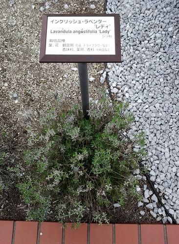 国立科学博物館 地球館屋上 ハーブガーデン イングリッシュ・ラベンダー・レディ