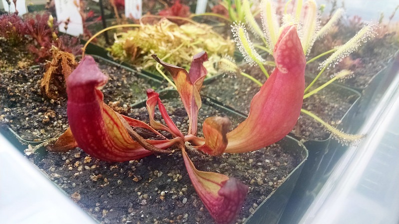 Sarracenia purpurea seedling