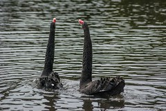 Black Swan mating ritual