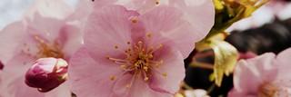 Kawazu-zakura Cherry Blossoms Festival in Kawazu Town, Shizuoka, Japan