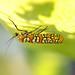 Small photo of Ailanthus Webworm Moth (Atteva aurea)