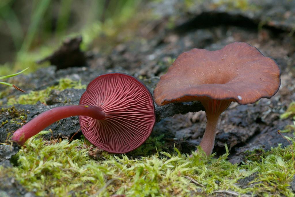 Омфалина розоводисковая (Omphalina discorosea). Автор фото:Татьяна Бульонкова