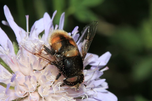Eristalis intracarius 31699