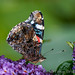 Red Admiral-2.jpg