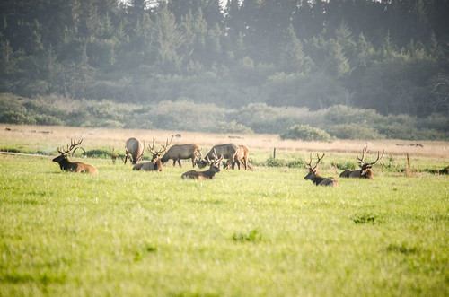 Elk at Lake Earl