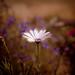 Cape daisy 003