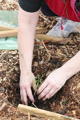 Hands on planting a native tree at Fawkner -IMG_7802