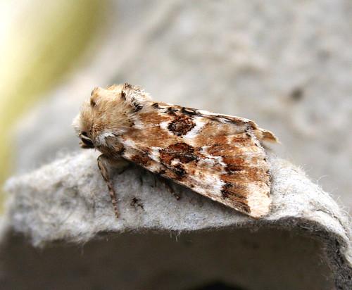 Dusky Sallow Eremobia ochroleuca Tophill Low NR, East Yorkshire August 2014