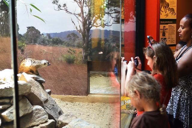 Caitlin Photographs a Meerkat