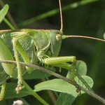 De grote groene sabelsprinkhaan
