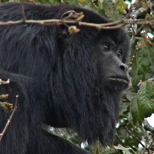 El mono aullador (Alouatta caraya) es el primate más austral de los que habitan el continente americano.