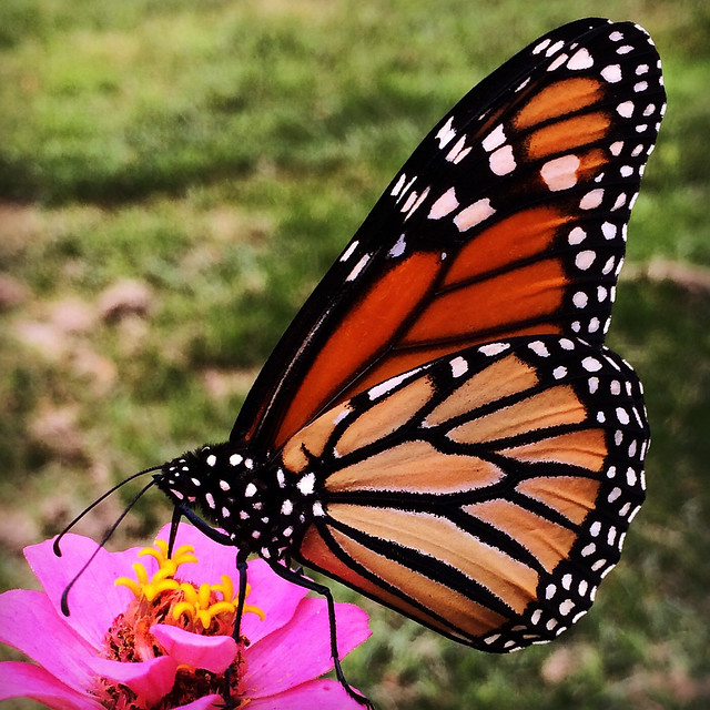 Monarch and Zinnia