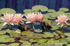 Nymphaea Colorado 1994 @ Denver Botanic Garden
