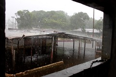 Casuarito bajo lluvia 3