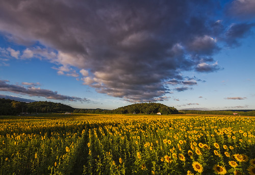 field sunrise photography newjersey unitedstates farmland sunflower agriculture select publish herbaceous floriculture frankford collectionlandscape publishflickr collectionnewjersey