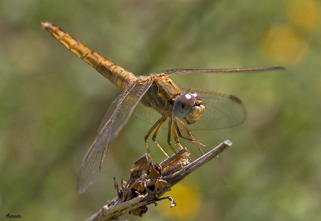 Crocothemis erythraea female