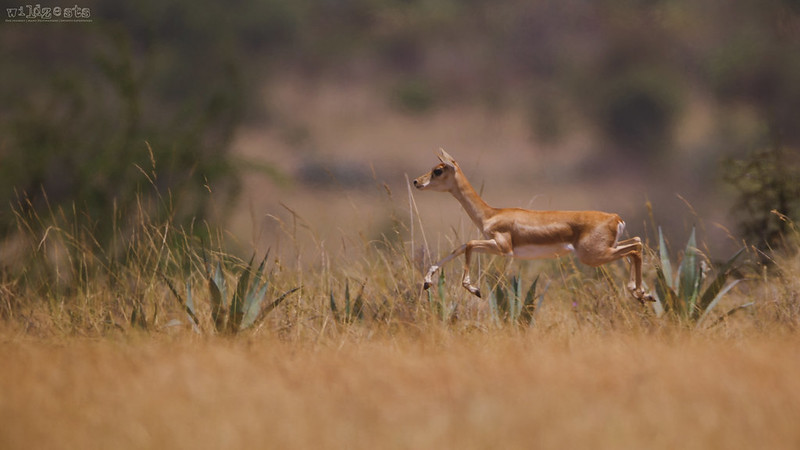 Female-Blackbuck-Hopping