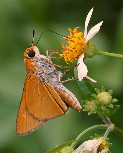 centralflorida halscottpreserve floridanativewildflowers marykeim taxonomy:binomial=bidensalba taxonomy:binomial=euphyesarpa
