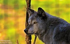 Silver Wolf Ak Zoo W_7043
