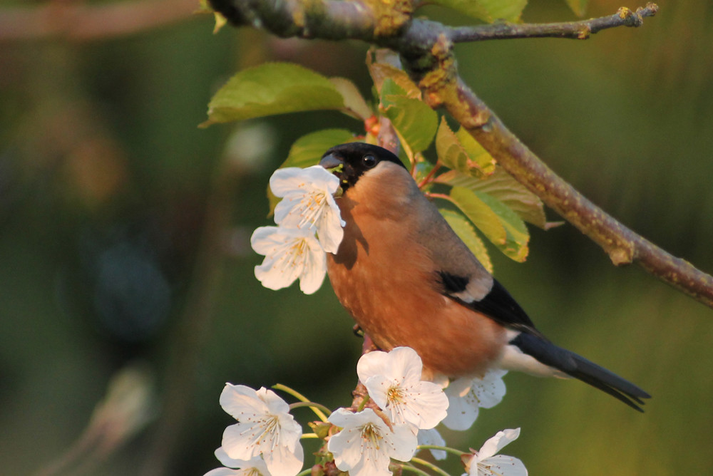 Bullfinch eating fruit-tree blossom