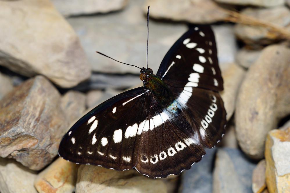 帶蛺蝶屬白圈帶蛺蝶14S102
