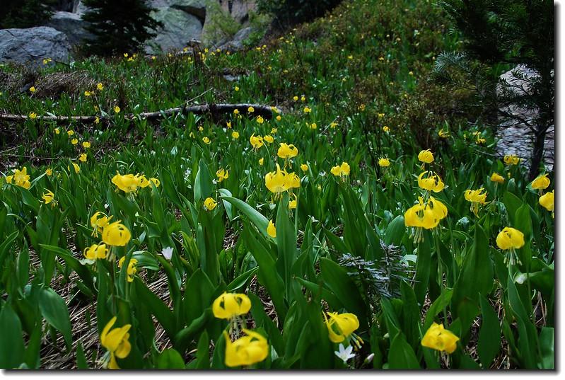Glacier Lily 15