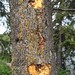 Small photo of Prob. woodpecker injury