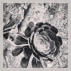 #JardinExotiqueDeMonaco in #Monaco with a strange cactus flower #blackandwhite #latergram...