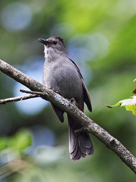 Gray Catbird 20140708