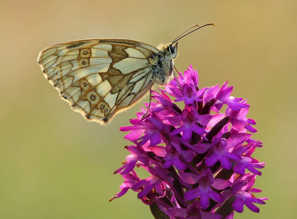 Female Marbled White on Pyramid Orchid, Friston Forest