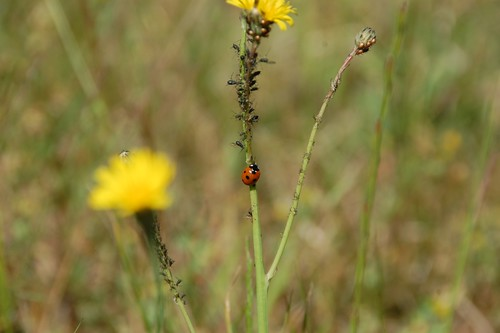 ladybird working the aphids