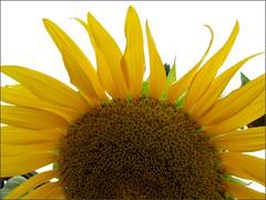 Sunflower in the morning sun