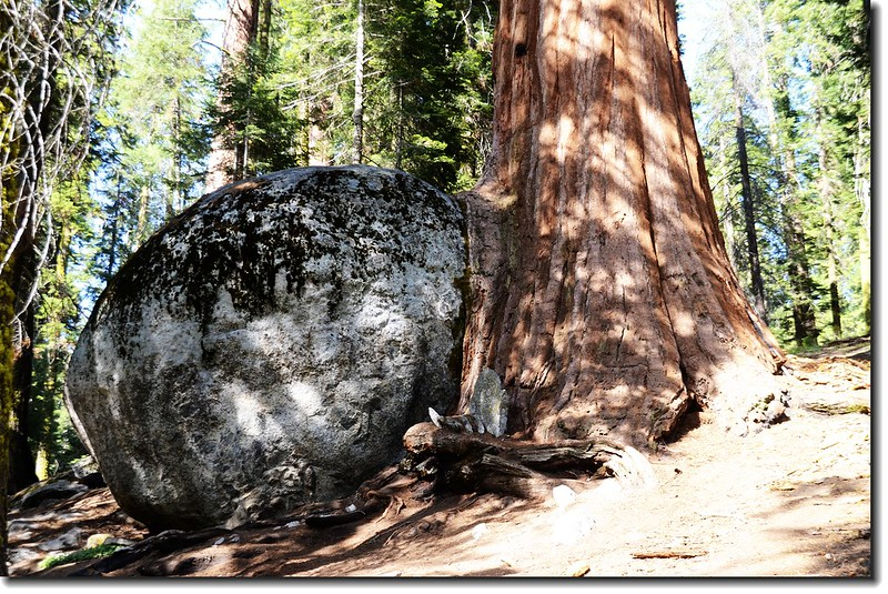 A boulder-hugging sequoia along Big Trees Trail 2