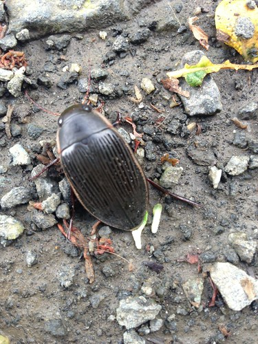 Great Diving beetle
