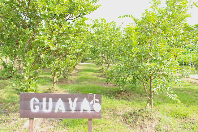 Guava trees