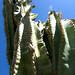 Organ pipe cactus por EC Stainsby