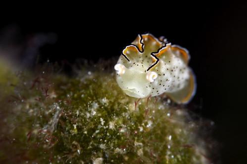 Elysia ornata 裝飾平鰓海蛞蝓