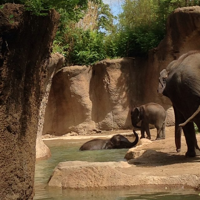 Couldn't resist sharing this photo, too... The elephants were just too adorable this morning at the zoo. One baby elephant was just swimming around in the water and having a good ole time and then when he wanted to get out the smaller baby was helping pul