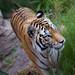 Tiger by KarrieChantel