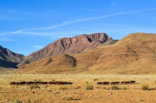 Cattle grazing in Namibia