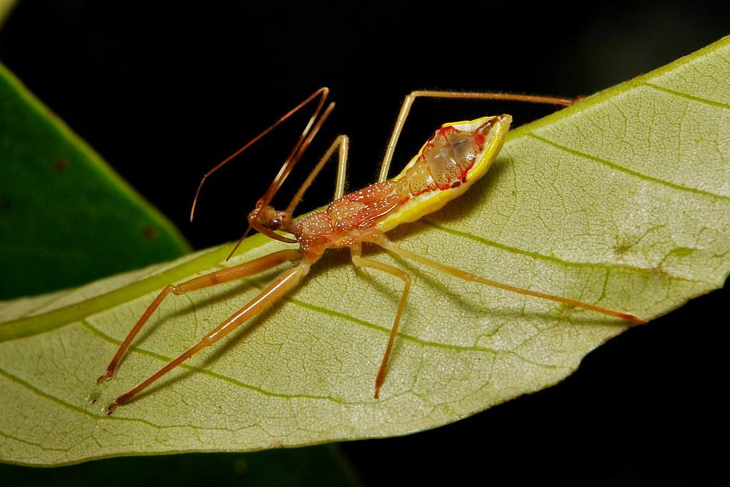 Assassin Bug Nymph (Epidaus cf. famulus, Reduviidae)