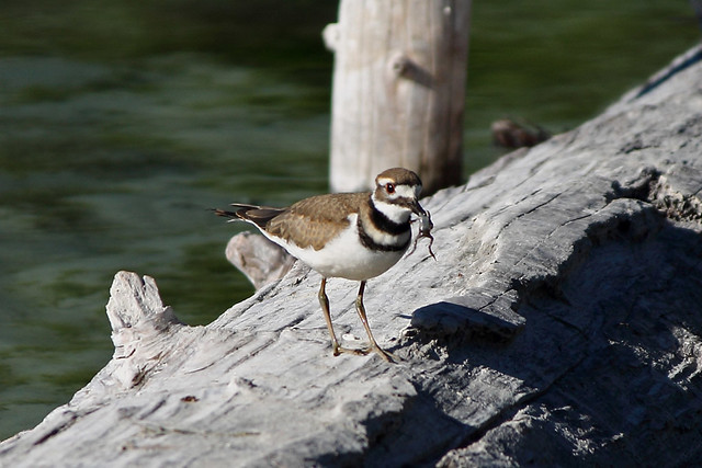 Killdeer holding a toad in beak