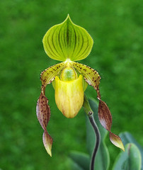 Paphiopedilum Judge Philip