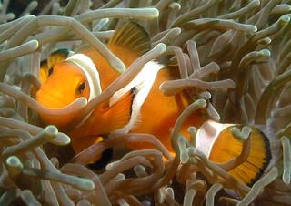 "<img src=""padi-diving-tiger-reef-golden-reef-tioman-island-malaysia.jpg"" alt=""PADI diving, Tiger Reef and Golden Reef, Tioman Island, Malaysia"" />"