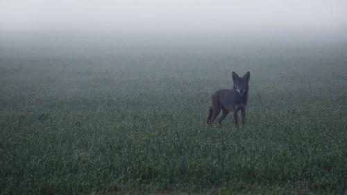 coyote morning wild nature wet field grass animal fog fur washington dew beast curious animalplanet suspicious morningdew