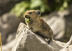 animal, squirrel, rodent, prairie dog, nature, fauna, close-up, whiskers, wildlife,